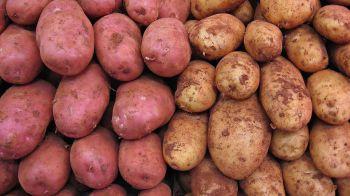 Bulvių derliaus trūkumo rizika dėl drėgno oro